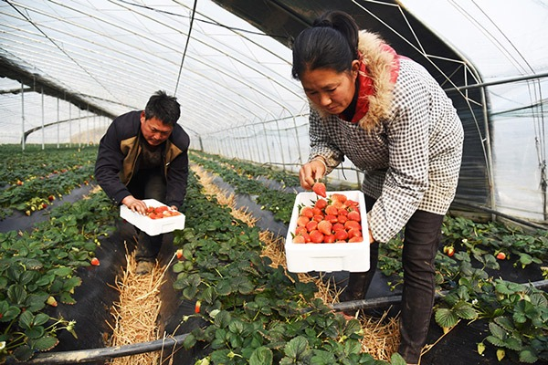 Strawberry plantation helps couple shake off poverty in Rizhao, Shandong:null